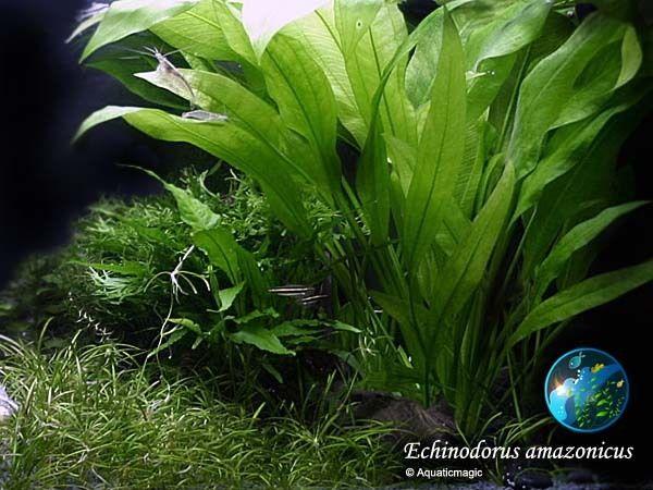 4 45 Live Amazon Sword Plant X 3 Stalks Aquarium Plant Echinodorus Amazonicus Ebay Home Garden Live Aquarium Plants Planted Aquarium Aquatic Plants
