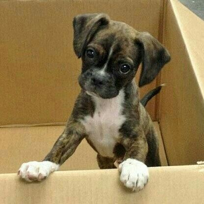 Pick Me Please Boxer Dogs Boxer Puppies Puppies