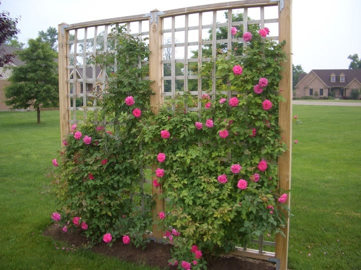 Awesome Climbing Rose Trellis Ideas Part - 3: Rose Bushes My Husband And I Built These These Were Very Easy To