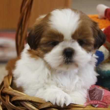 Ramona The Female Shih Tzu New Jersey Shih Tzu Breeders Shih Tzu Shih Tzu Breeders Puppies