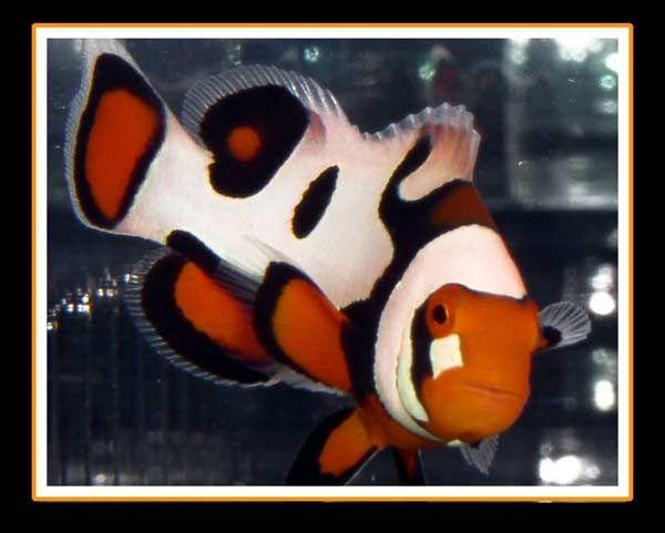 My Favorite Fish Picasso Clownfish Clown Fish Saltwater Fish Tanks Marine Fish