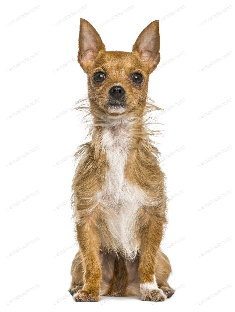 Mixed breeded dog sitting, isolated on white By