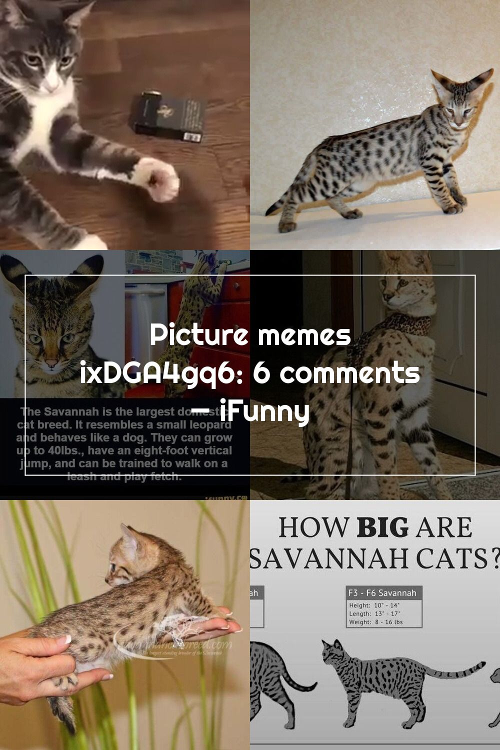 Picture Memes Ixdga4gq6 6 Comments Ifunny In 2020 Savannah Cat Cat Breeds Cats
