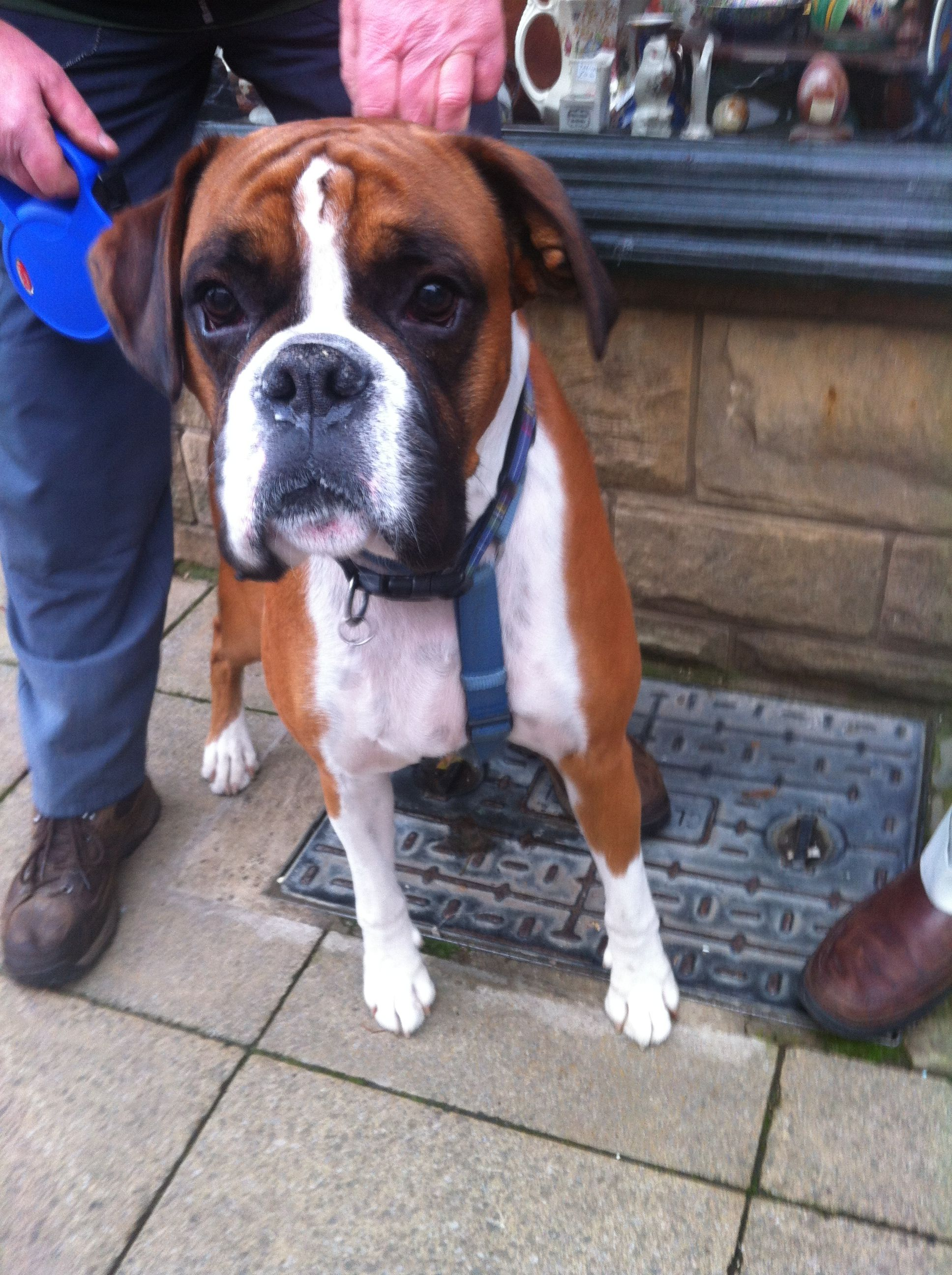 Boxer in England Boxer dogs, American boxer dog