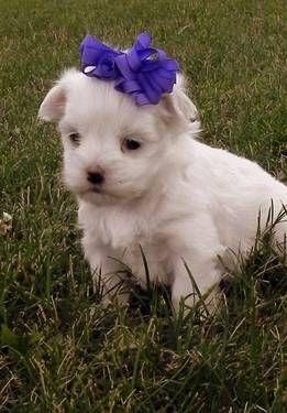 2 3 Lbs Maltese Pups Maltese Puppy Furry Friend Pup