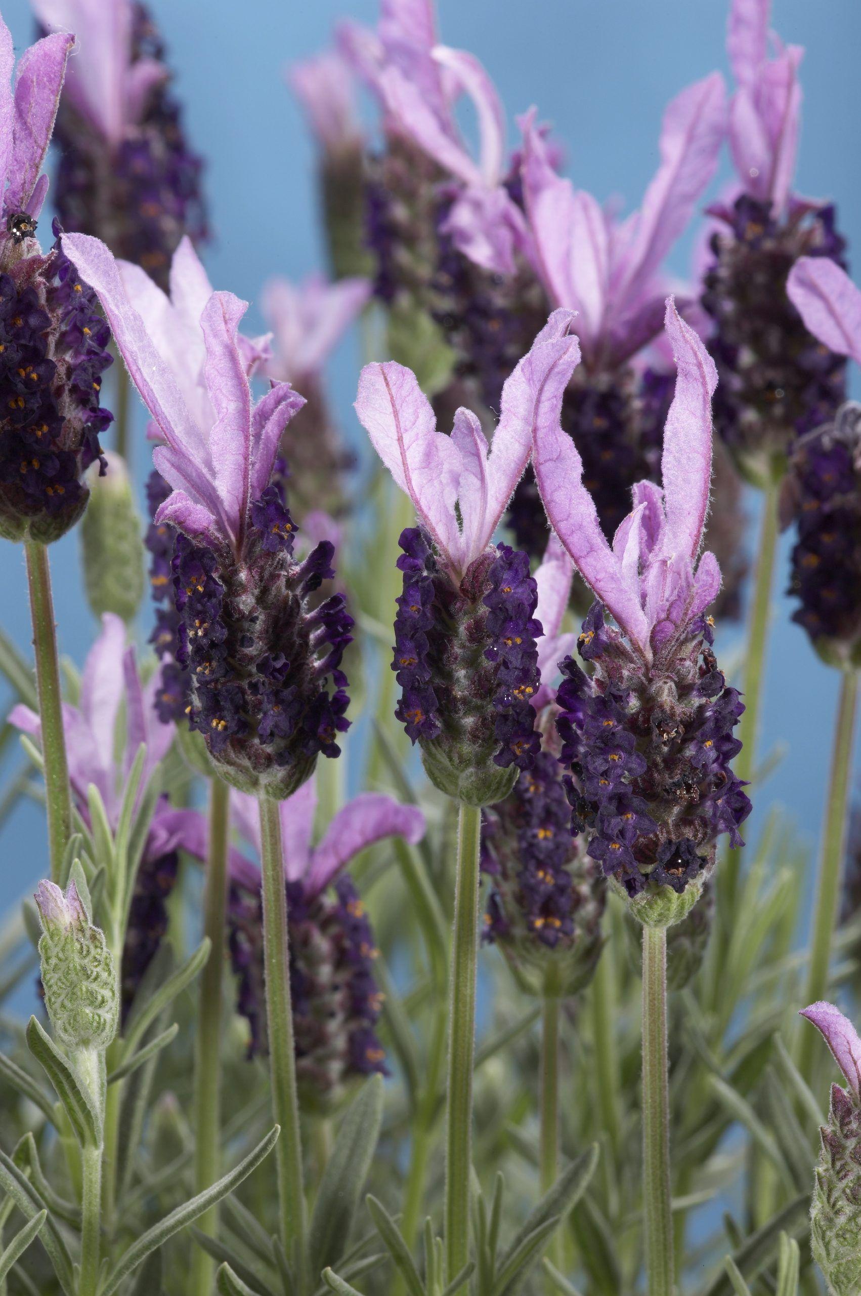 Lavender Pictures National Garden Bureau In 2020 Spanish Lavender Cottage Garden Plants Lavender Varieties