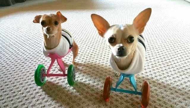 Chihuahua Siblings Are Born With 2 Legs Each Doesn T Stop Them