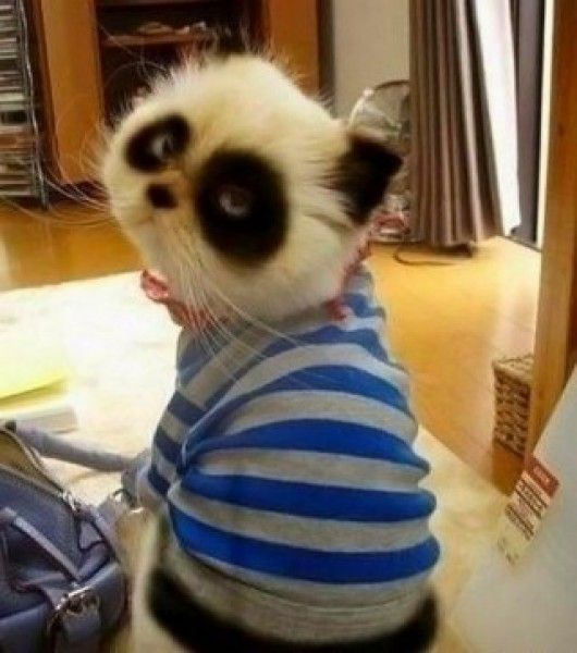 Panda Cat  I  need this Cat. I'm so frickin serious.
