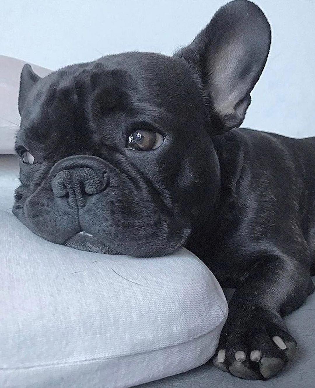 More About The Calm Bulldog Temperament bulldogstagram