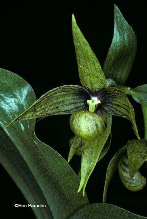 Wildflowers of California - Cypripedium fasciculatum