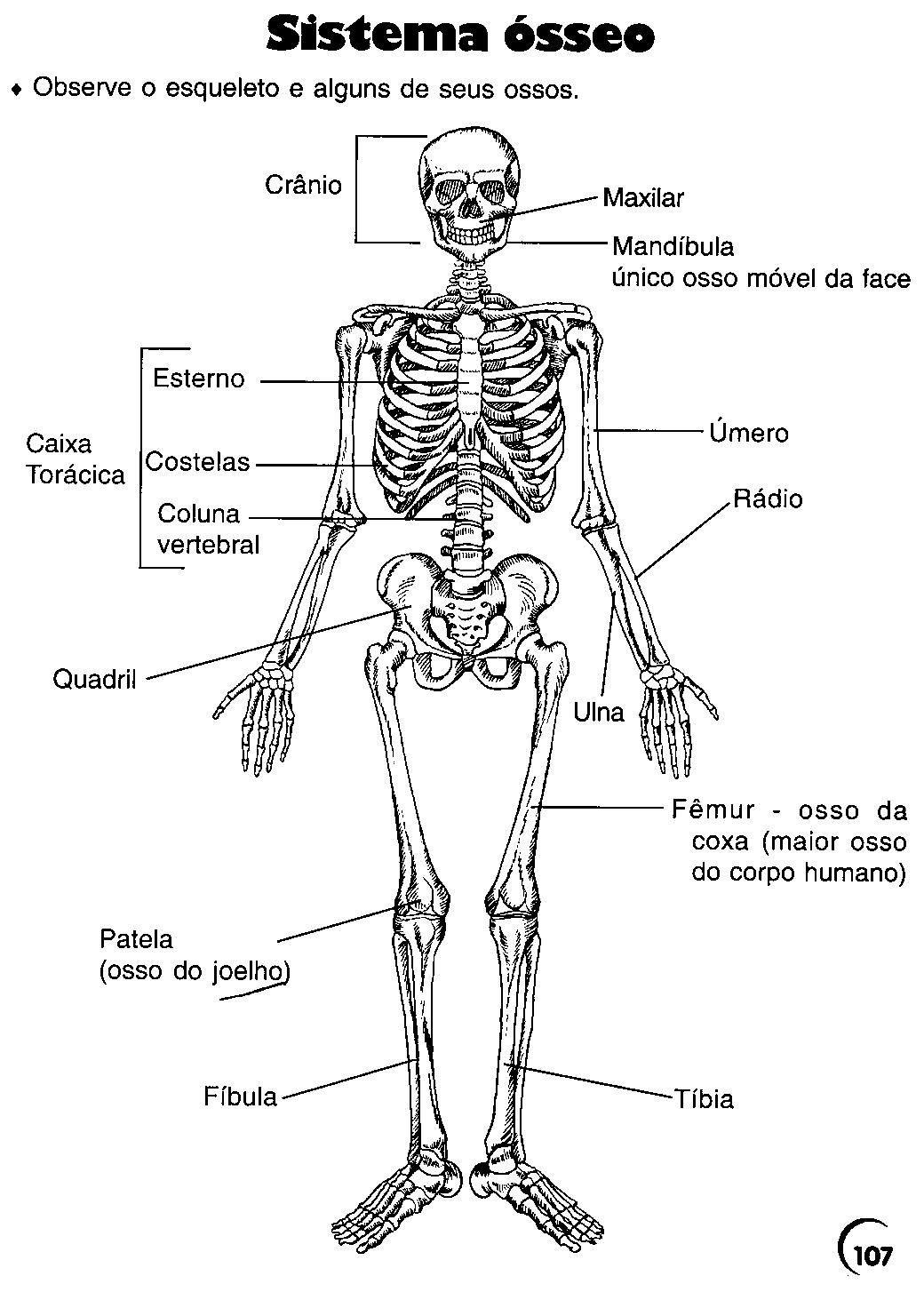 Ossos Do Cranio Pesquisa Google Ossos Do Corpo Humano Ossos