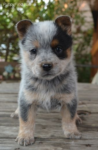 Puppies For Sale At Puppyfind Com With Images Austrailian Cattle Dog Heeler Puppies