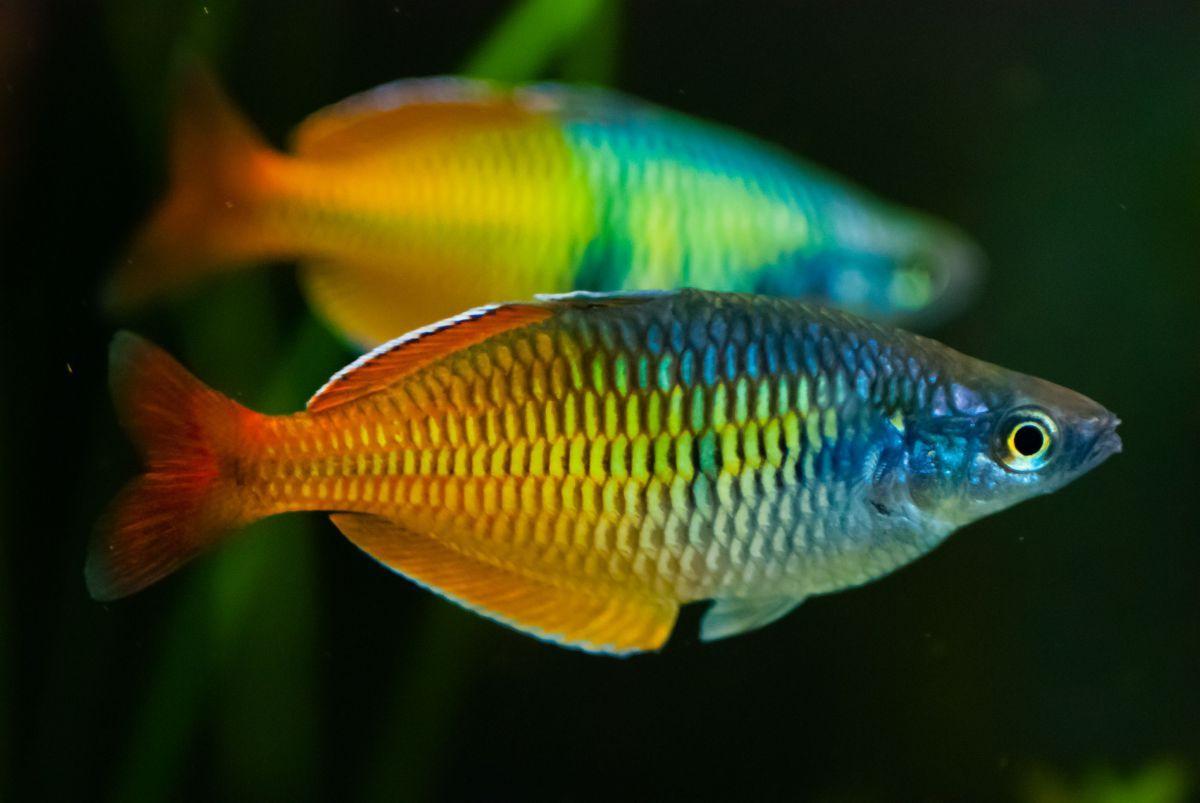 Ikan Aquascape Terindah Rainbow Fish Aquarium Fish Freshwater Fish