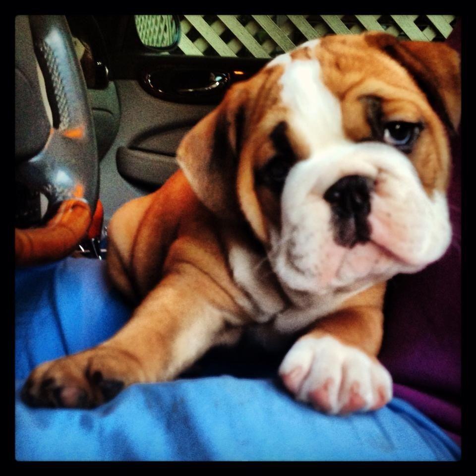 7 Weeks Old Clementine Betty Pet Magic English Bulldog Bulldog