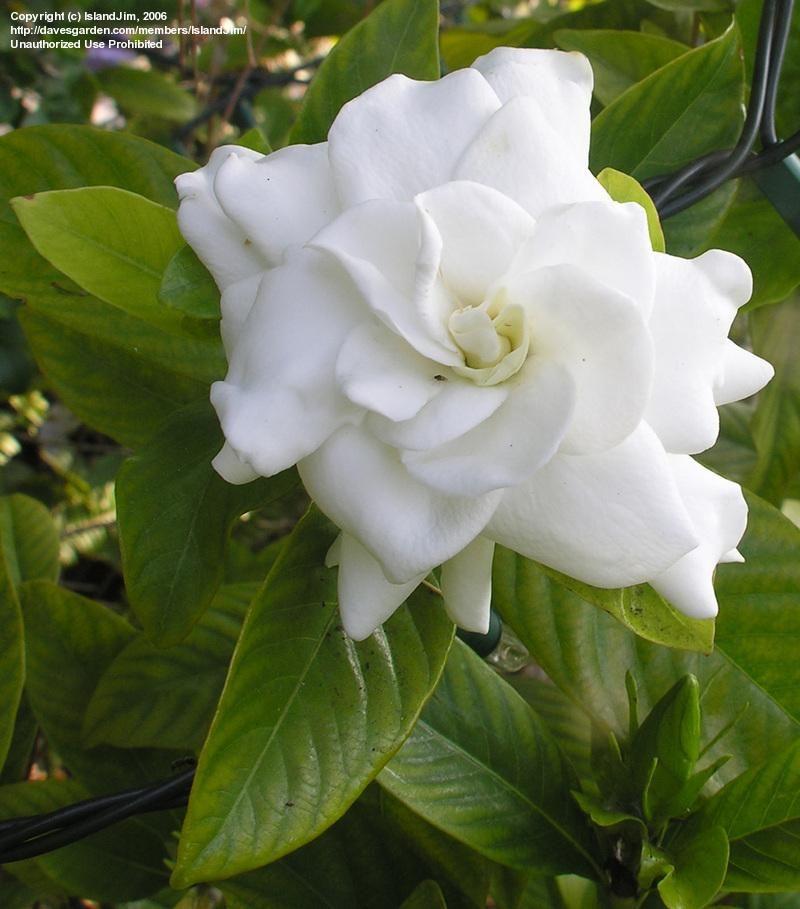 Full Size Picture Of Gardenia Cape Jasmine Gandharaj Mystery