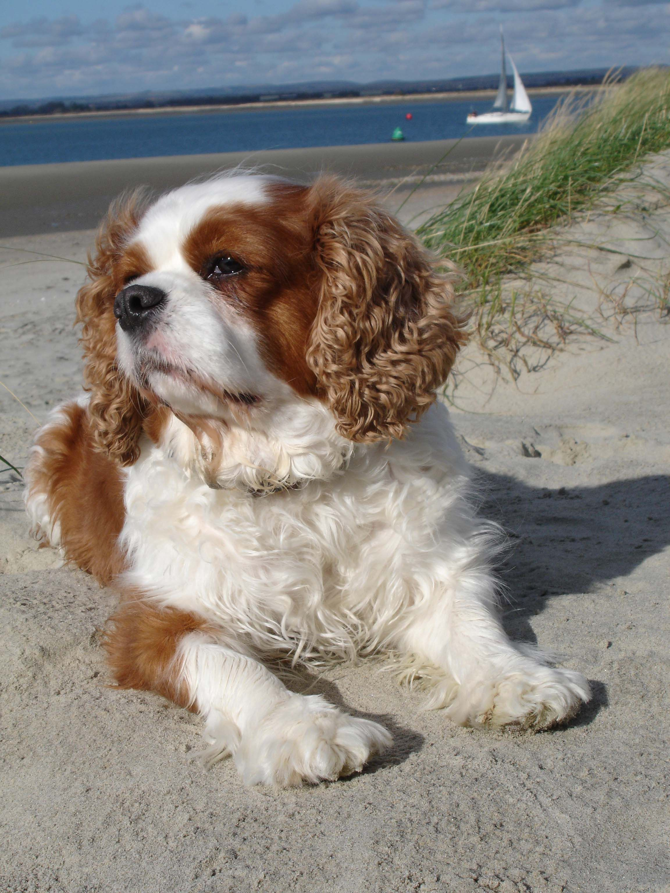Cavalier king charles spaniels are good for apartment life