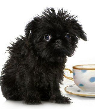 Micro Teacup Dog Breeds Google Search Teacup Puppies Micro