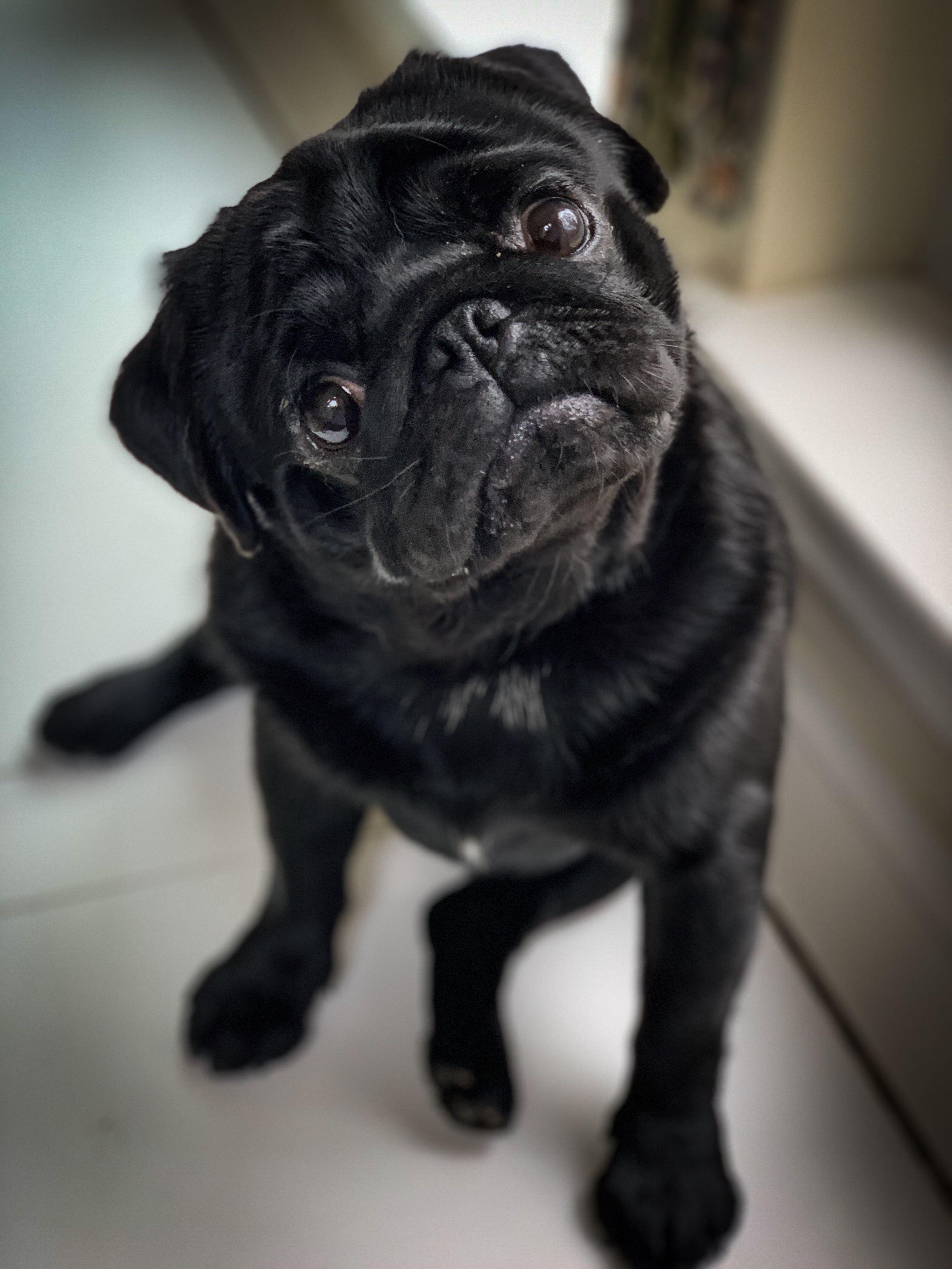 Oh How I Just Love Black Pugs Black Pug Puppies