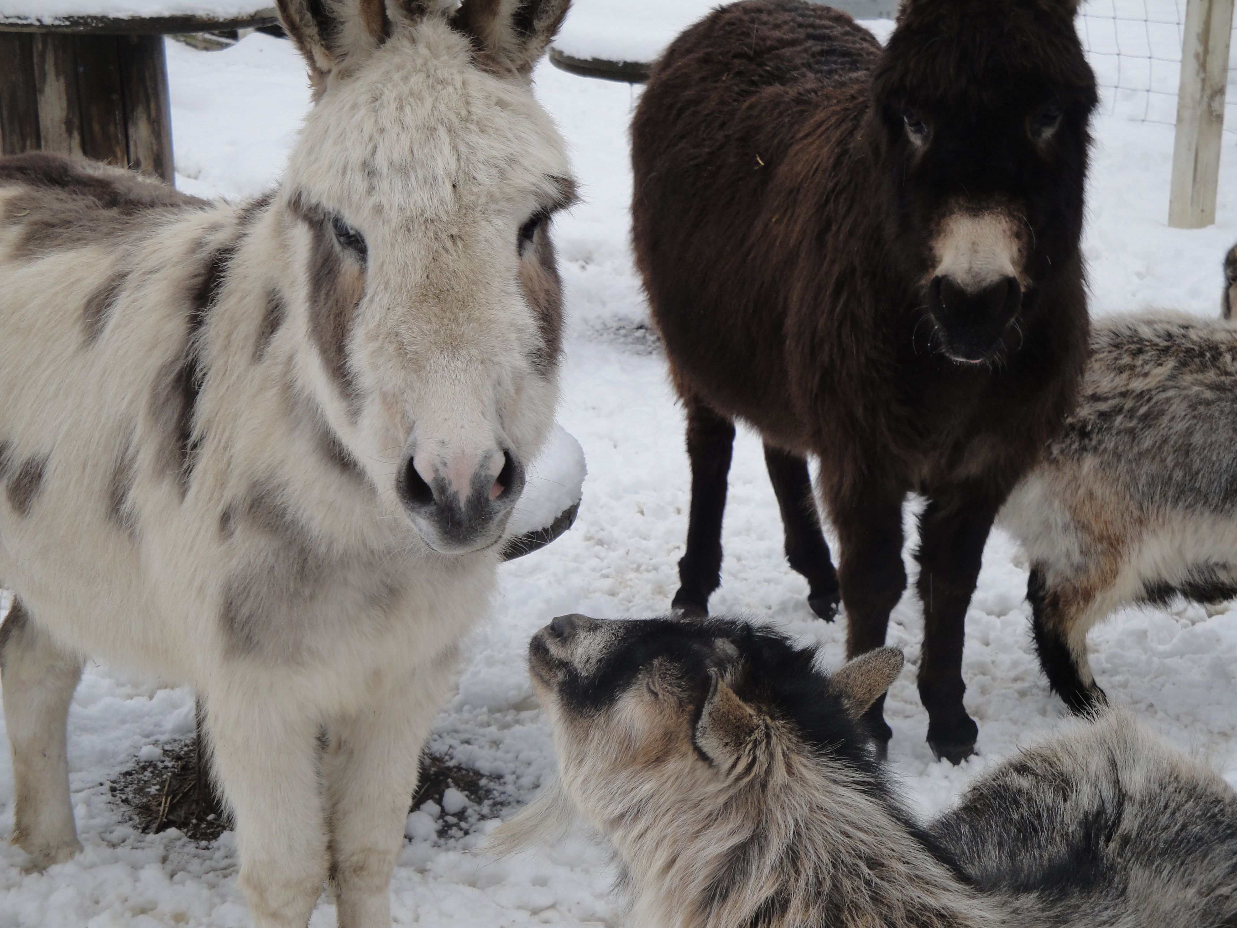 Snickers .... asking Emma & Ellie Mae when summer will be here?  Harmony Homestead...