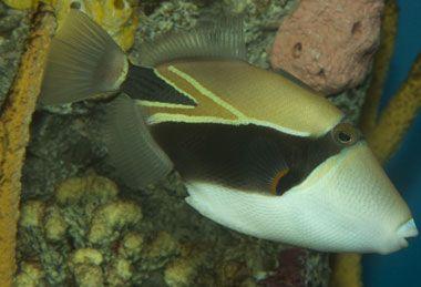 Hawaii State Fish Hawaiian Triggerfish Humuhumunukunukuapua A Hawaii Fish Hawaii Usa