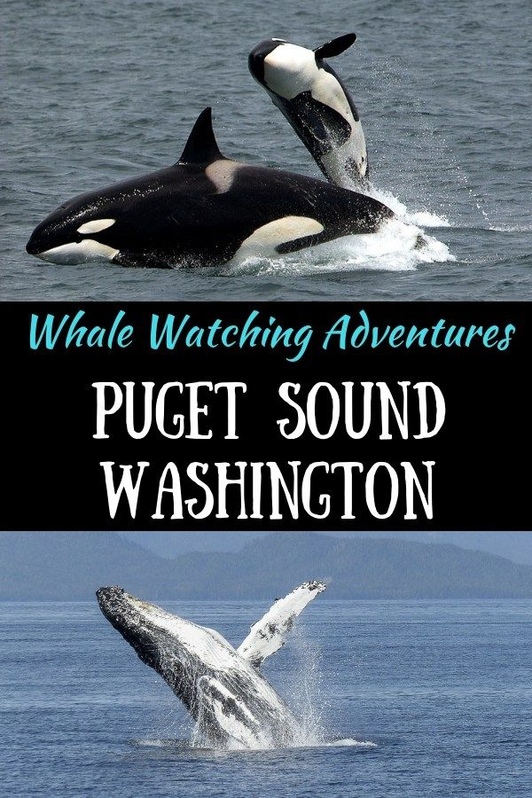 Want to See Orcas? Head to the Puget Sound in Washington