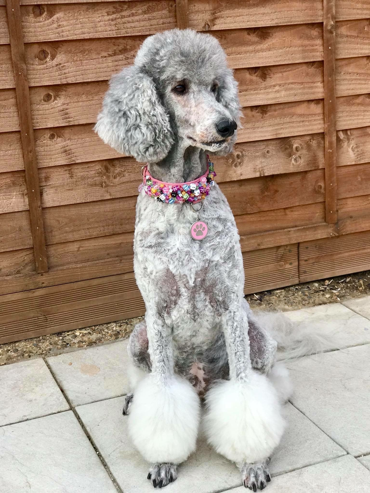silver beauty! | dog stuff | poodle grooming, poodle haircut