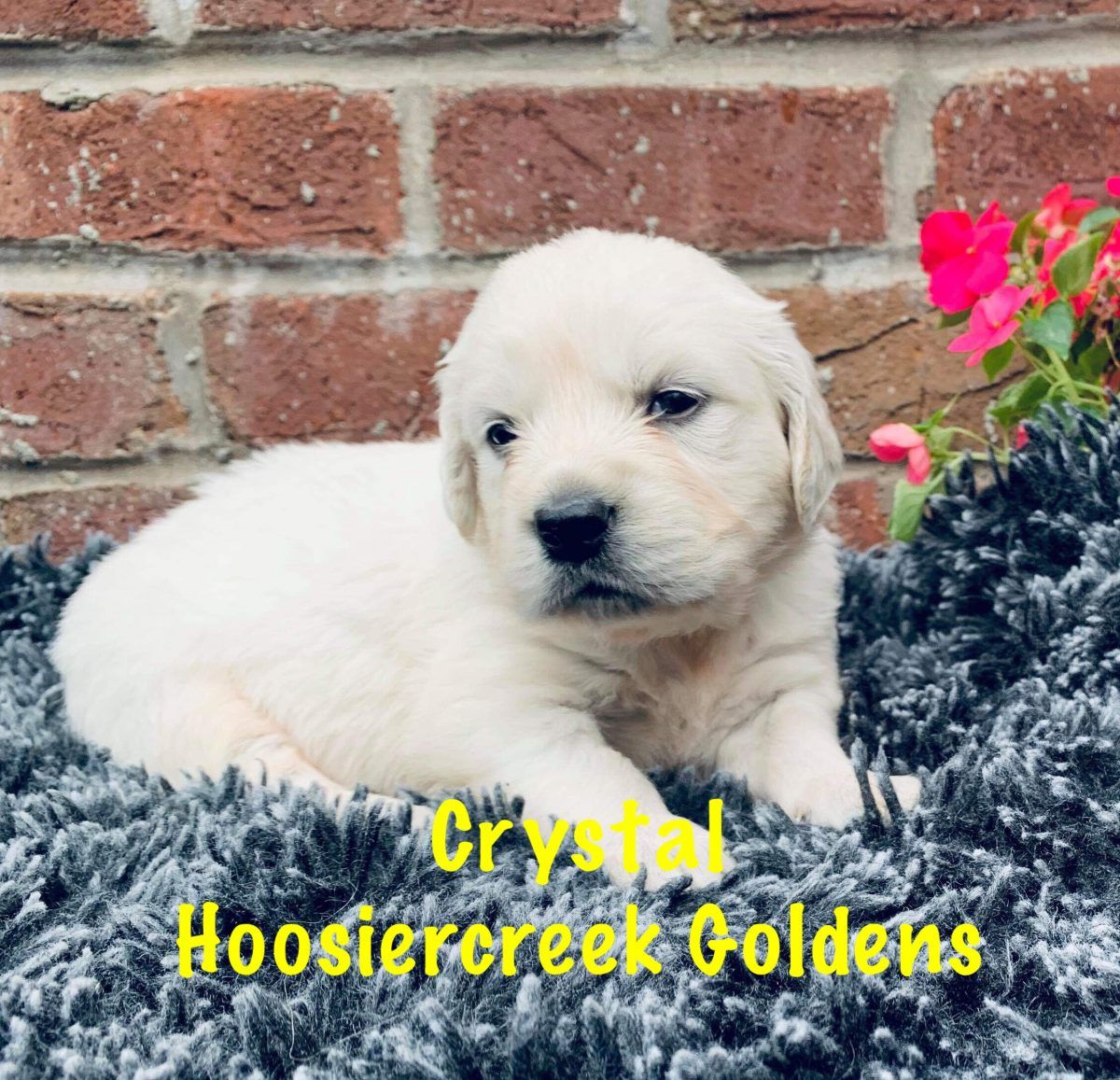Crystal Akc Female Golden Retriever Puppy For Sale Loogootee In