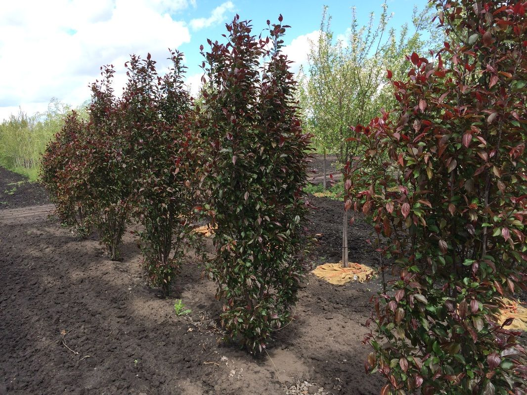 Purple Spire Flowering Crab Malus X Purple Spires 15 Tall 4 Wide A