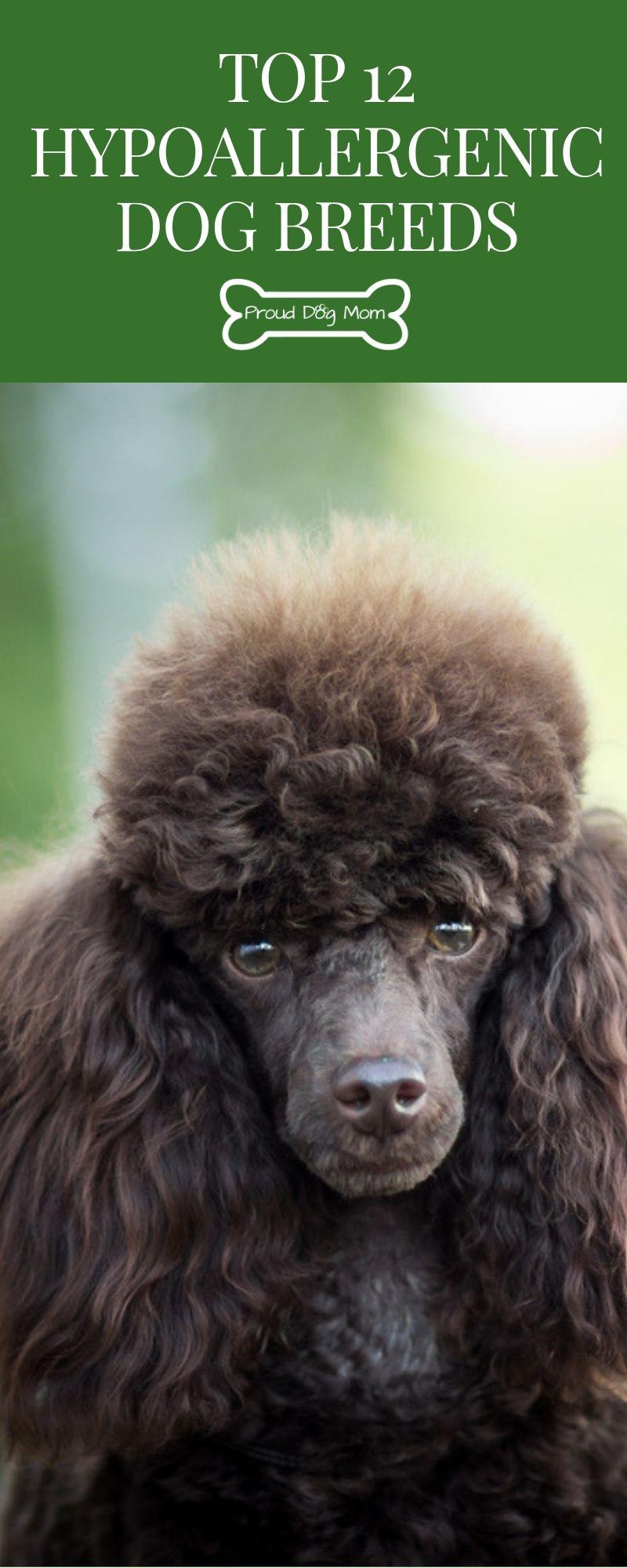 Top 12 Hypoallergenic Dog Breeds Hypoallergenic dog