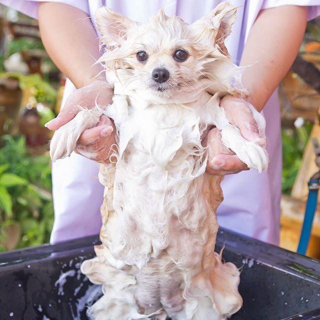 Pomeranian Dog Breed Information Pomeranian Puppy Dog Breeds