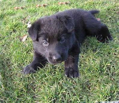 Black German Shepherd Puppy Awww I Want Oneeeee Black German Shepherd Black German Shepherd Puppies German Shepherd