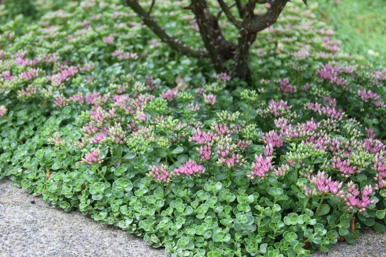 Pflegeleichte Stauden Bodedecker-gruen-rosa-blueten-baum