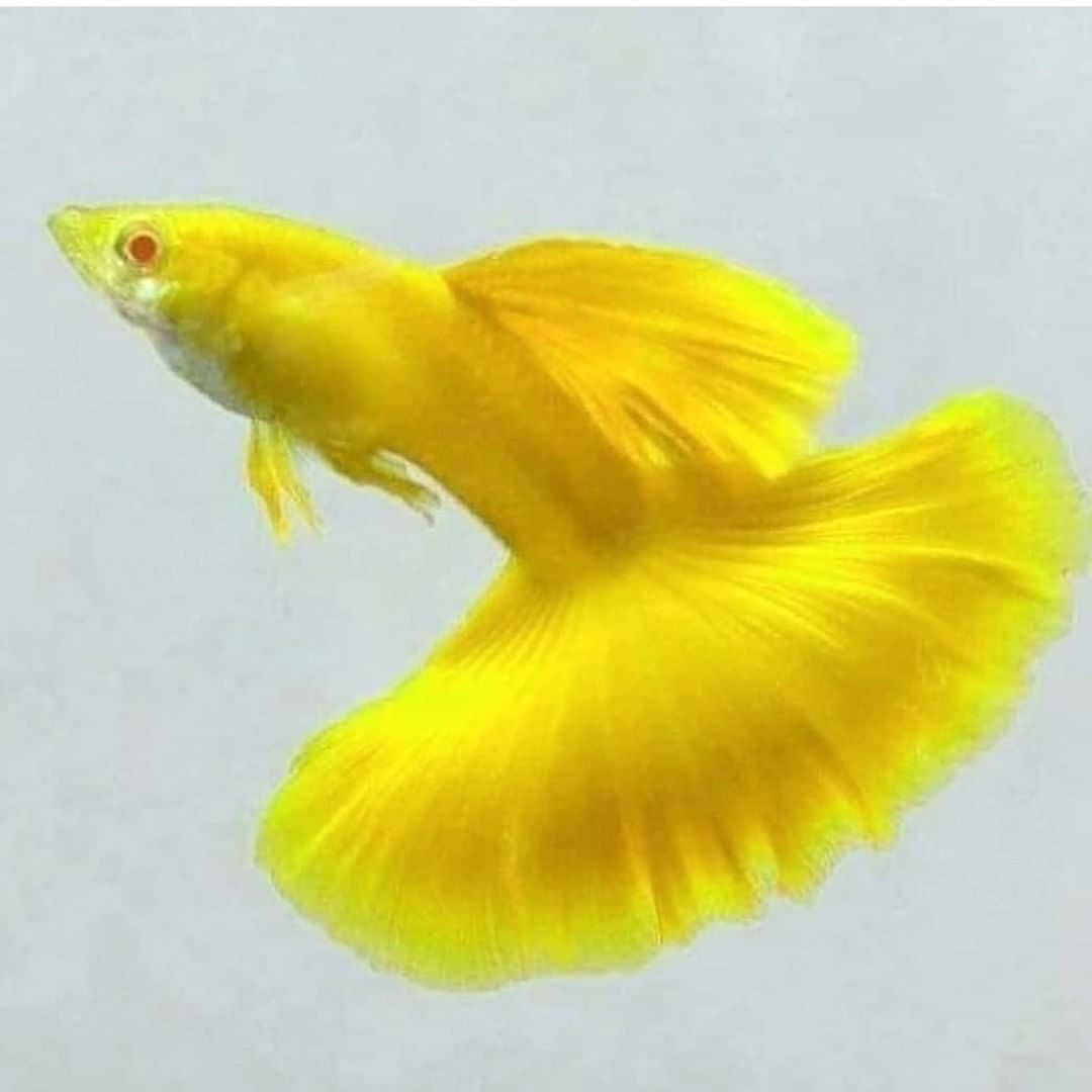 Full Yellow Guppy Fish Guppy Fish Aquarium Fish Beautiful Fish