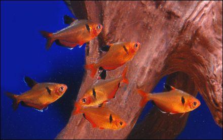 Serpae Tetra Like Most Tetras These Prefer To Be In Schools Tetra Fish Aquarium Fish Fish