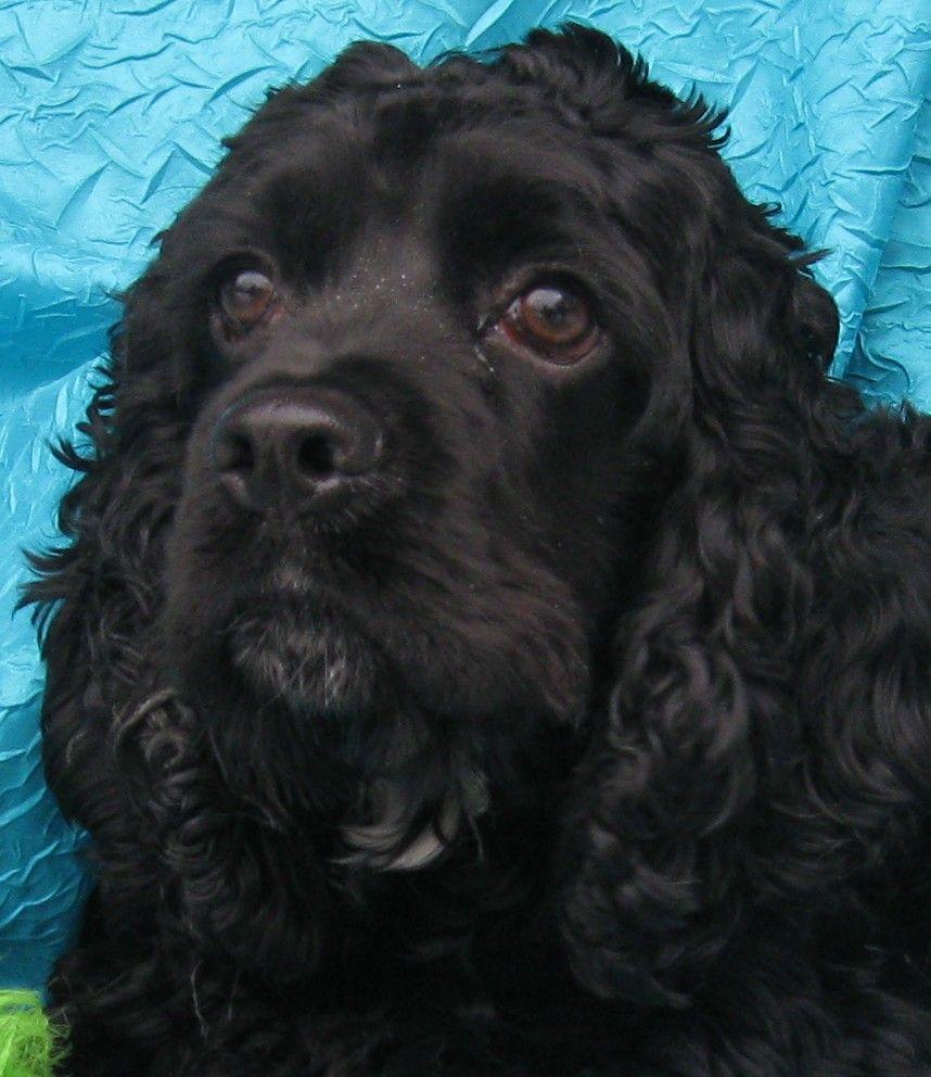 Cocker spaniel dog for adoption in cuba ny adn417692 on