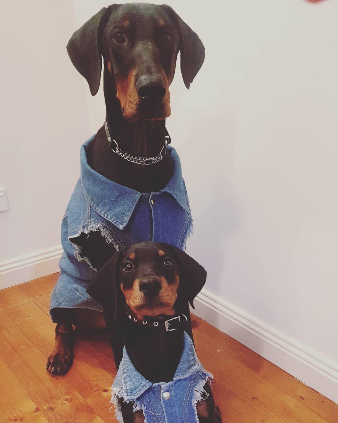 #doberman #dobermanpinscher #dog #dogsofinstagram #dogs #dobie #dobermansofinstagram #dobermanpride #dobermann #k #dobermandogs #puppy #dobermanpuppy #dobermanlove #dobermans