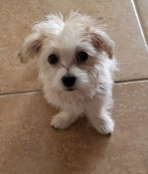 Morkie Puppy For Sale In Orlando Fl Adn 46343 On Puppyfinder Com