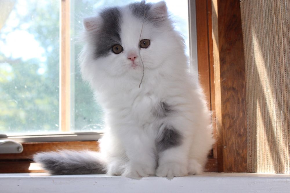 Too Cute To Tell Her She Has Thread On Her Face Persian Kittens Kitten For Sale Cats With Big Eyes Persian Kittens