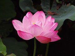 Lotus Flower, Color De Rosa, Lotus