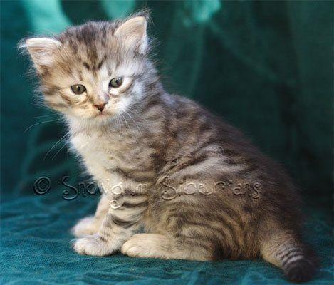 Siberian Kittens For Adoption In Michigan Siberian Cats Our Siberian Cats Siberian Kittens Kitten Adoption Siberian Cat Kitten Adoption Siberian Kittens