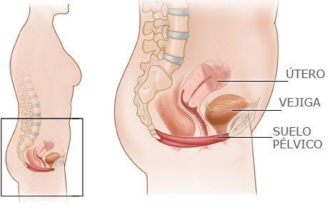 Anatomía suelo pélvico. El Suelo Pélvico femenino es un sistema de ...