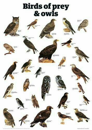 Pin By Mike Knox On Birds Birds Of Prey Backyard Birds Birds