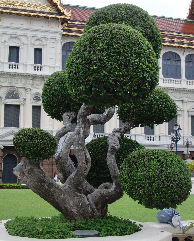 buxus faulkner topiary art pinterest