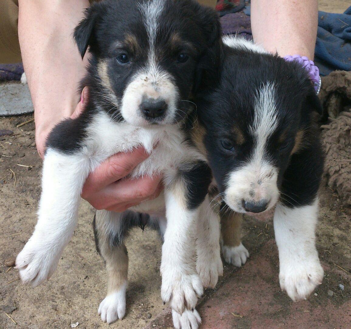 Border Collie Puppies For Sale Border Collie Puppies Collie