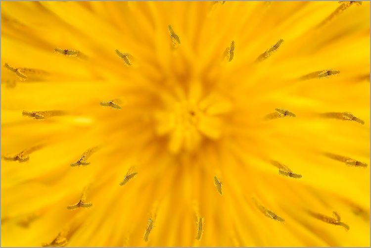 fleur_pissenlit_mpe65_2x_b-1.jpg (750×501)