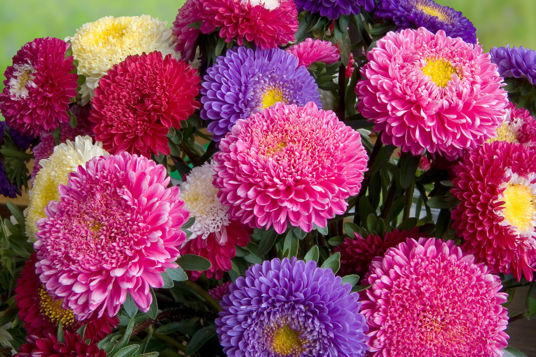 A bouquet of fresh asters by Marian on 500px Flower