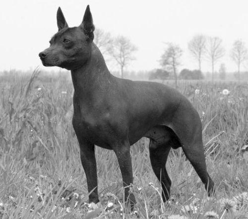 A List Of Animals That Start With X This Large Collection Of Animals Starting With X Contains The Meaning And An Xoloitzcuintli Ancient Dog Breeds Famous Dogs