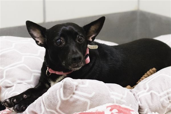 Bekah SPCA of Texas (Dallas) 153817 Small dog adoption