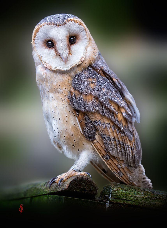 Barn Owl (Tyto alba) by JeanClaude Sch. Barn owl