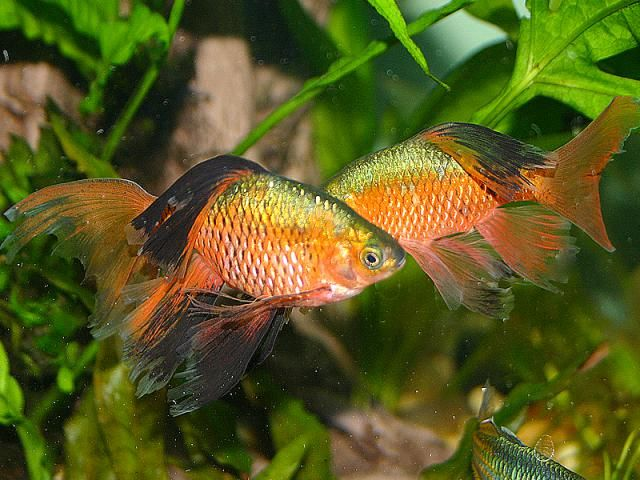 How To Add Rosy Barb Fish To Your Aquarium Freshwater Aquarium Fish Tank Fish